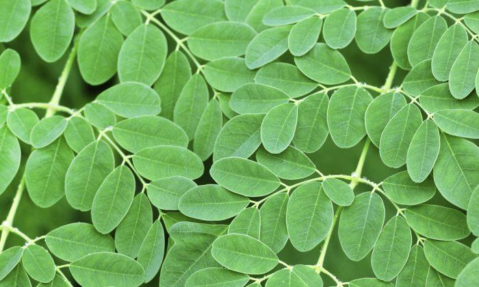 Moringa Tree Leaves Side effects 2020
